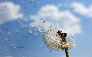 4862_Dandelion-puff-spread-through-the-air